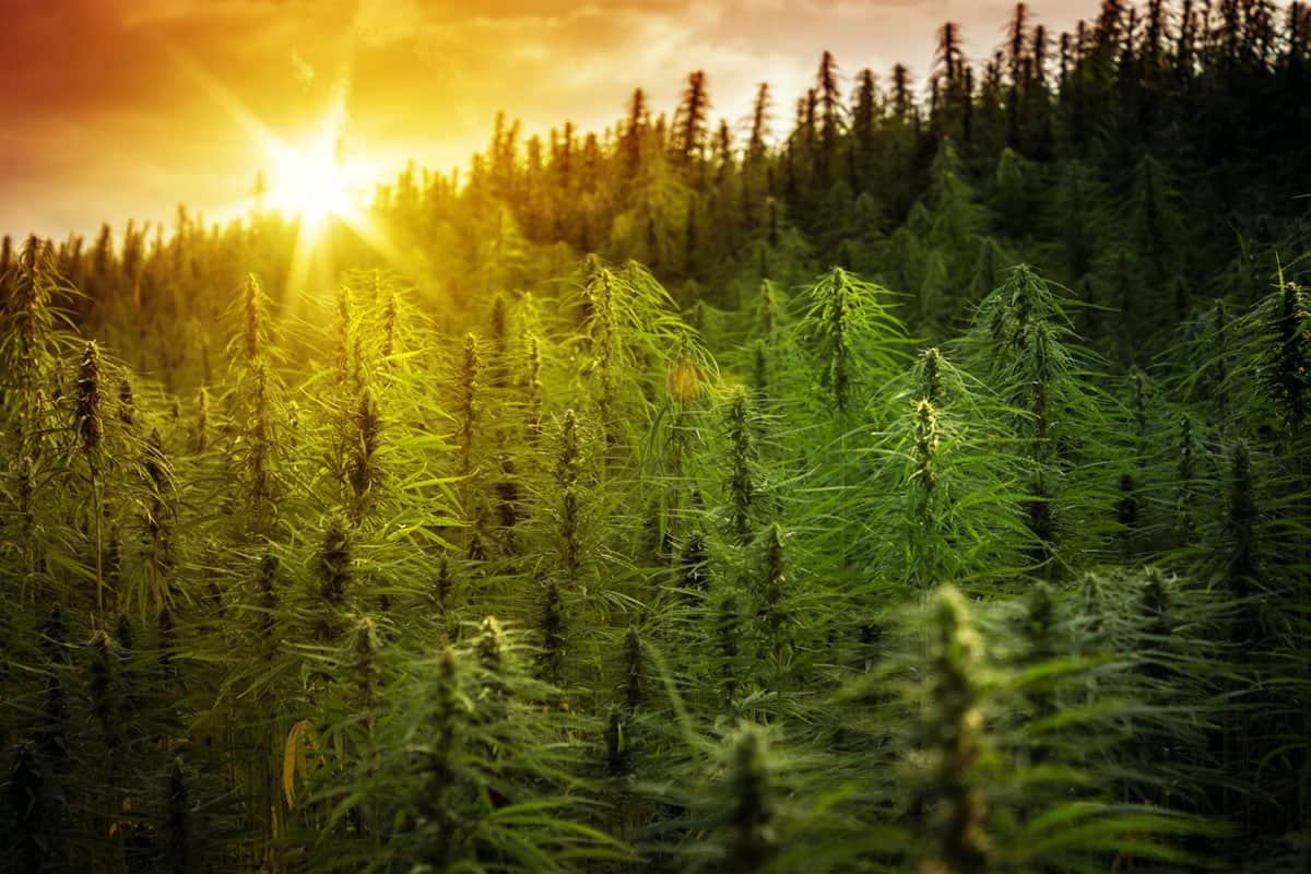 sunny hemp field