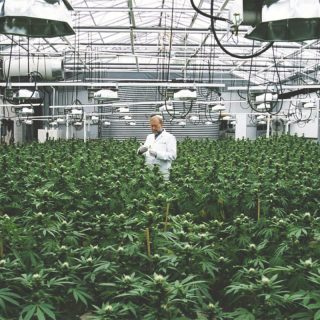 indoor legal cannabis farm