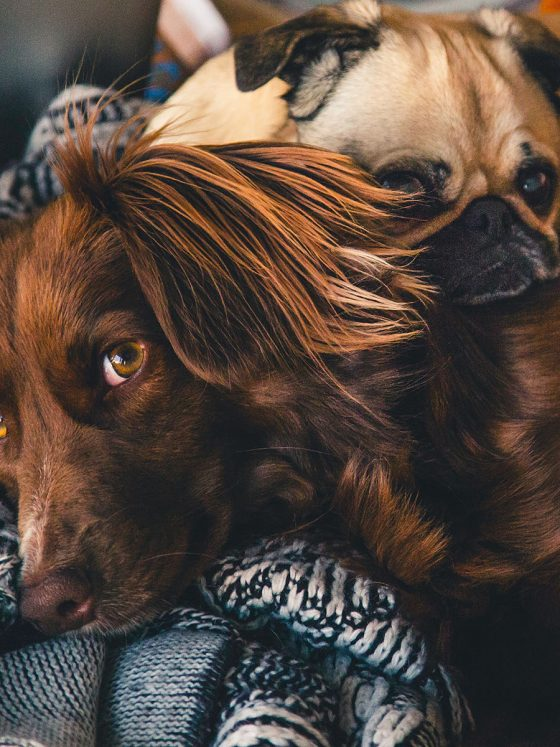 two dogs sleeping on a blanket