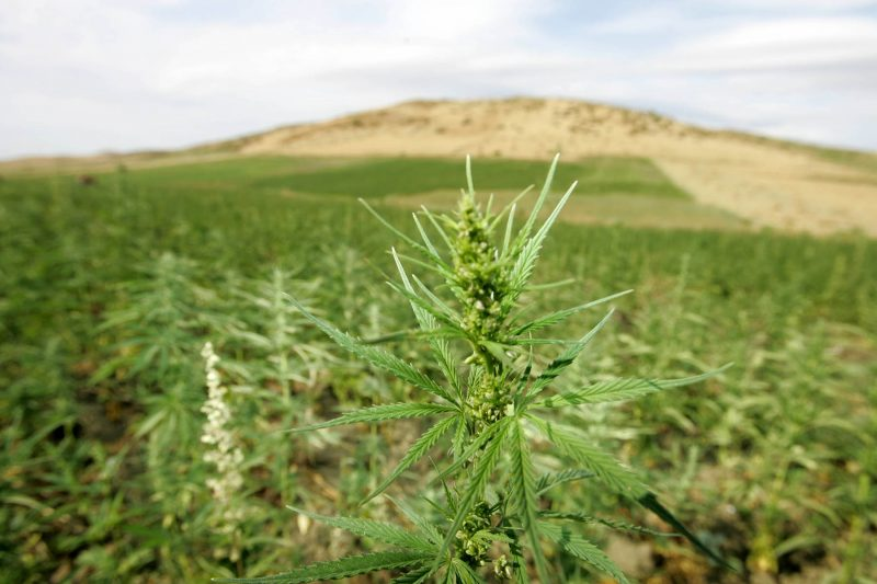 View of cannabis plantations in the northern Morocco