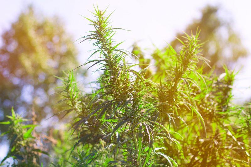 hemp growing in a field