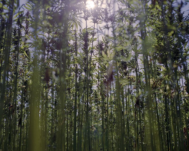 organic hemp field