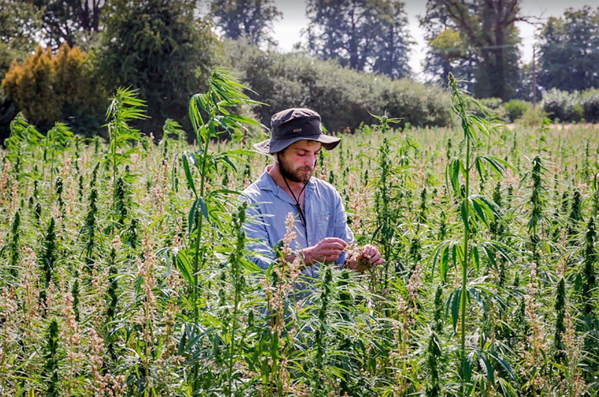 man in organic hemp field