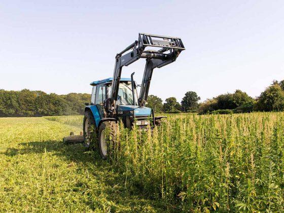 hempen hemp crop being destroyed